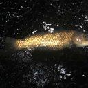つりぼりオーシャンの真鯉